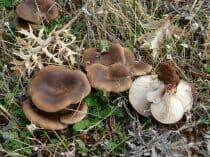 seta-de-cardo-pleorotus-eryngii