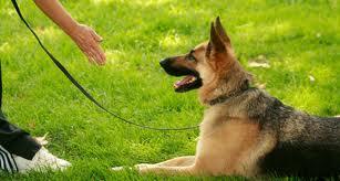adiestrar-perros