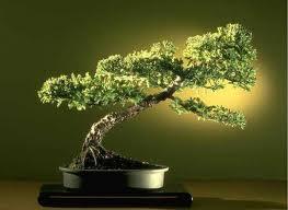 como cuidar bonsais