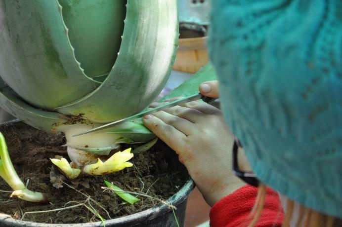como cortar hojas aloe vera