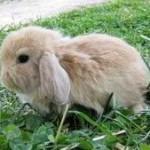 conejo enano belier