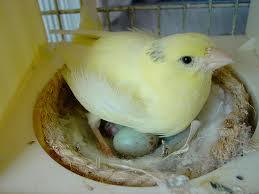 nidos para criar canarios