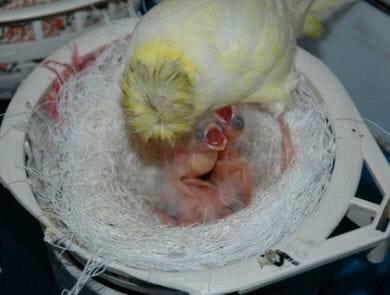crias de canario