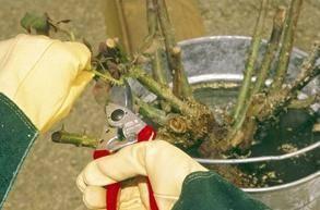 como cuidar rosales