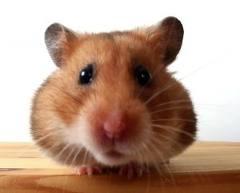 cuidar hamster