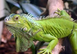 como cuidar iguana verde