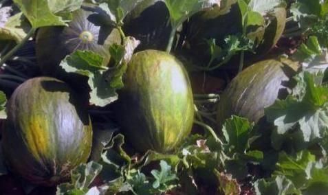 cultivar y plantar melones
