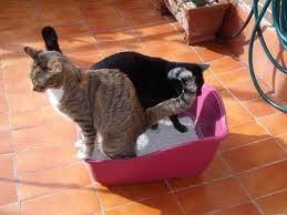 educar gatos arenero
