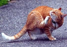 pulgas gatos
