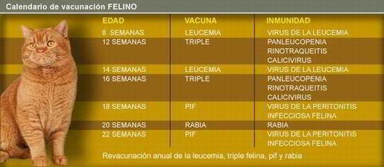 vacunas gatos