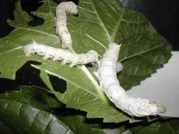 criar gusanos de seda