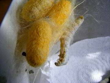 huevos gusano seda