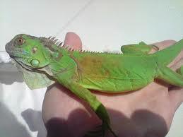 iguanas manchas piel