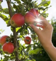 arbol de manzano