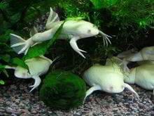 anfibios mascotas