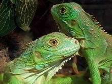mascotas exoticas iguana