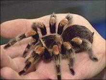 mascotas tarantulas