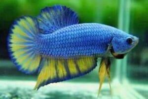 cuidados pez betta