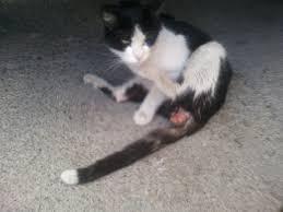 prolapso rectal gatos