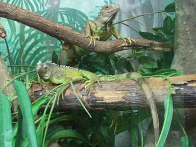 iguanas en terrario