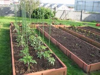 entutorado de tomateras