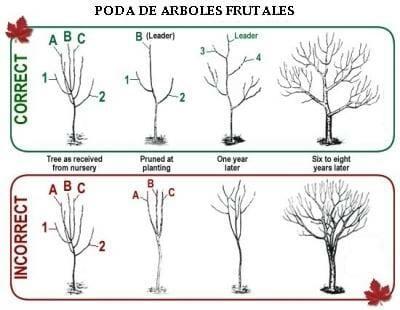 Como podar arboles frutales for Cuando se podan los arboles frutales