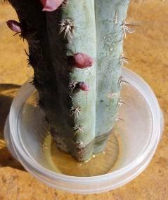 hormonas-enraizamiento-cactus