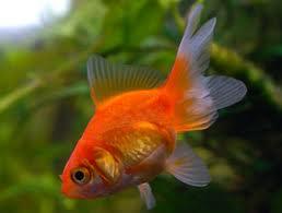 como cuidar goldfish
