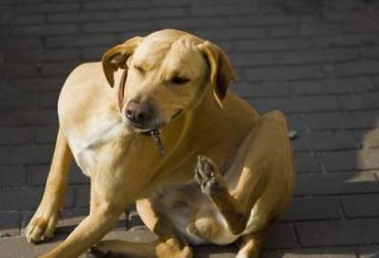perro con garrapatas y pulgas