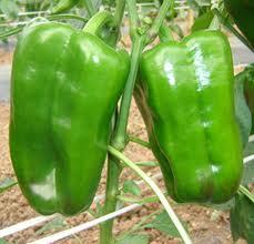 cultivar pimientos