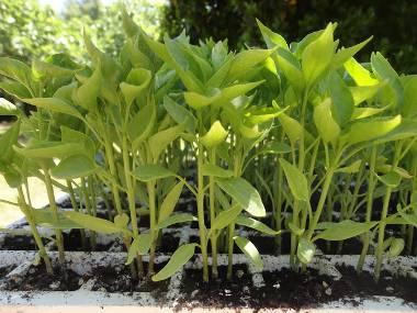 semilleros pimientos