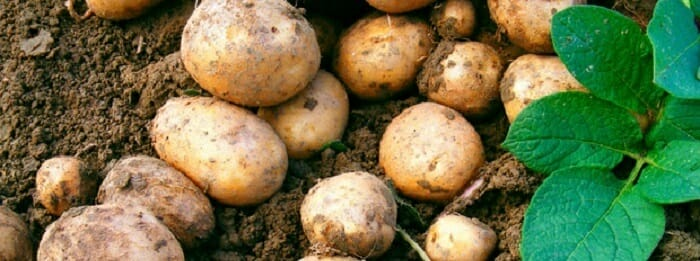 Cuidar rosales cuidados de los rosales for Como cultivar patatas