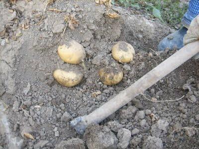 recoleccion de la patata