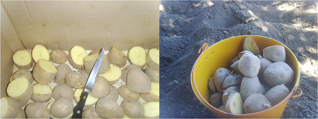 Como cultivar patatas en el huerto for Como cultivar patatas