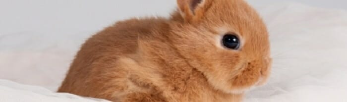 distinguir conejo macho hembra