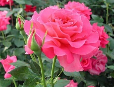 como reproducir rosas