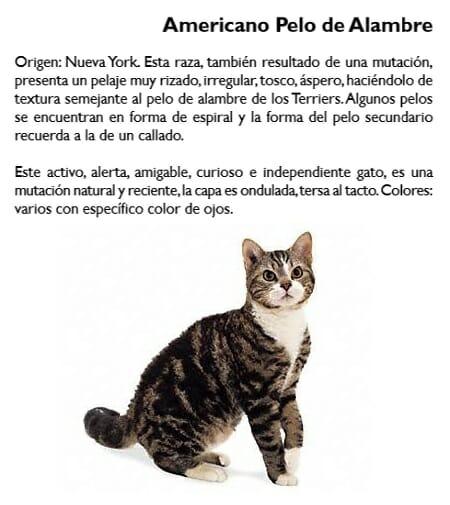 gato-americano-pelo-alambre