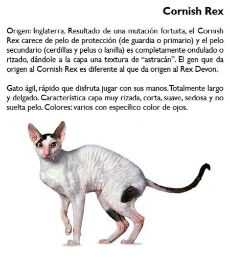 gato-cornish-rex