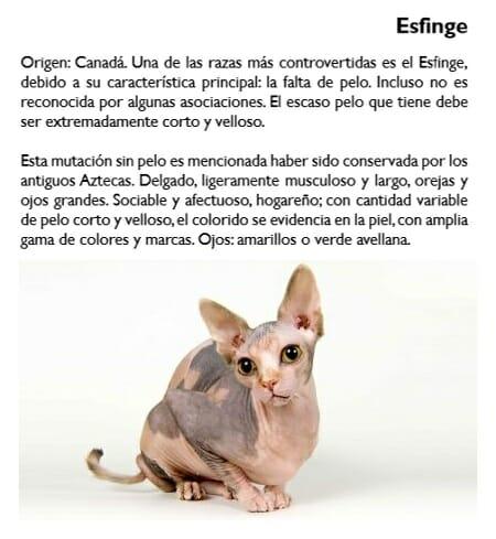 gato-esfinge