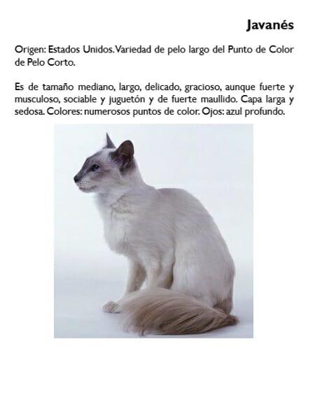 gato-javanes