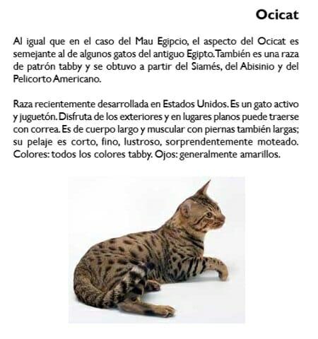 gato-ocicat