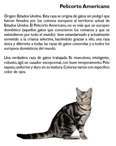 gato-pelicorto-americano