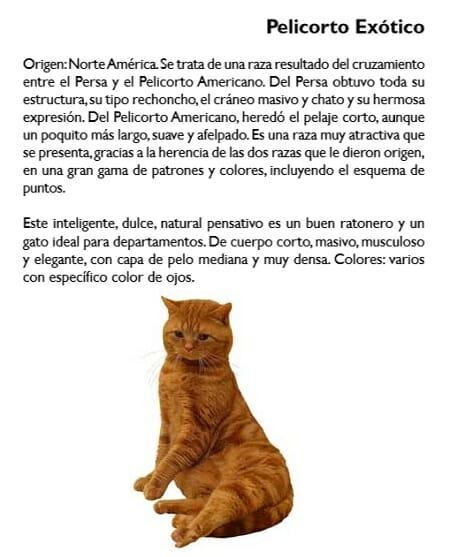 gato-pelicorto-exotico