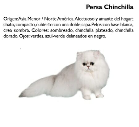 gato-persa-chinchilla