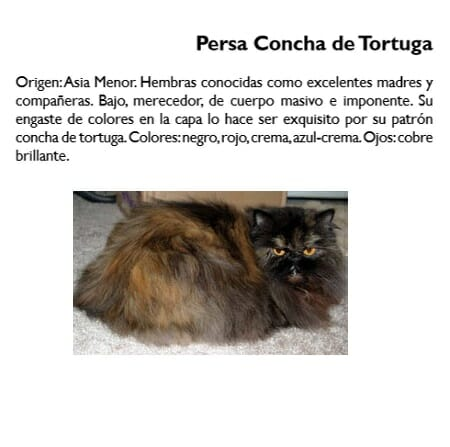 gato-persa-concha-tortuga-carey