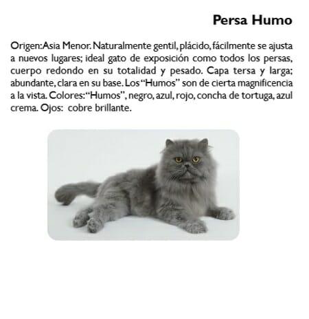 gato-persa-humo