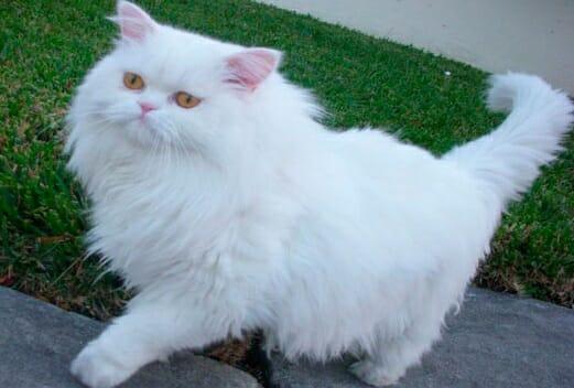 razas-gatos-pelo-largo