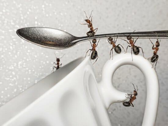 eliminar hormigas natural