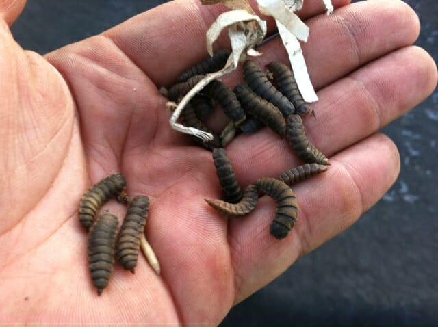 larva-moscasoldado