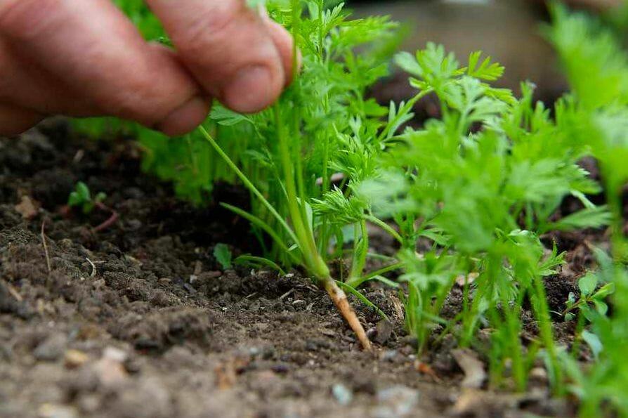 aclarar zanahorias